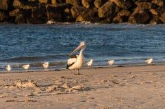 Pelikan, der am Kopf der Seemöwen steht Lizenzfreies Stockbild