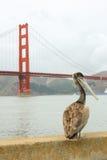 Pelikan, der mit Golden gate bridge im Hintergrund steht Lizenzfreies Stockfoto