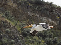 Pelikan, der nahe Kante in Toston Montana fliegt Stockfotografie