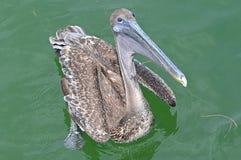 Pelikan, der oben vom Wasser von Tampa Bay, Florida anstarrt stockfotografie