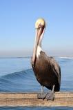 Pelikan, der am Pier stillsteht. Lizenzfreies Stockfoto