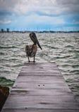 Pelikan, der Sarasota-Strand unter Überführung übersieht stockfoto