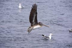 Pelikan, der seinen Flügel ausbreitet lizenzfreies stockfoto