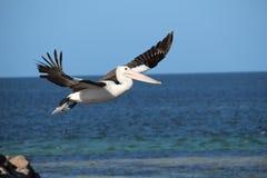 Pelikan, der sich im Flug entfernt Lizenzfreie Stockbilder