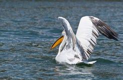 Pelikan, der sich vorbereitet zu fliegen Stockbild