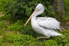 Pelikan, der unter grünem Laub im Vogelkäfig offen geht Lizenzfreie Stockfotografie