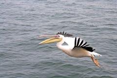Pelikan die over de oceaan vliegt Royalty-vrije Stock Afbeeldingen