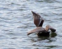 Pelikan - Duży łyk obrazy royalty free