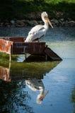 Pelikan in einem russischen Zoo Lizenzfreies Stockbild