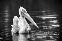 Pelikan in einem See Stockfotografie