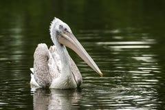 Pelikan in einem See Stockbilder