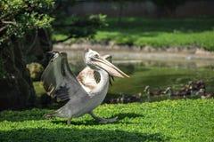 Pelikan - en stor flock- waterbird arkivbild