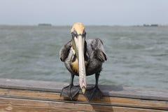 Pelikan fåglar, naturlig livsmiljö, Florida fåglar, pirfåglar, muelle, puerto, fågel arkivbilder