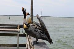 Pelikan fåglar, naturlig livsmiljö, Florida fåglar, pirfåglar, muelle, puerto, fågel royaltyfri fotografi
