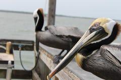 Pelikan fåglar, naturlig livsmiljö, Florida fåglar, pirfåglar, muelle, puerto, fågel arkivfoto