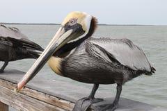 Pelikan fåglar, naturlig livsmiljö, Florida fåglar, pirfåglar, muelle, puerto, fågel fotografering för bildbyråer