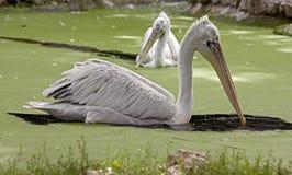 pelikan för 8 dalmatian Arkivfoto