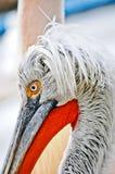 pelikan för christicloseupcorpuset fotograferade sydliga texas USA royaltyfri bild