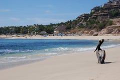 pelikan för strandcaboslos Royaltyfri Foto