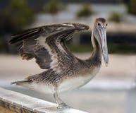 Pelikan förbereder sig att fjädra in i handling fotografering för bildbyråer