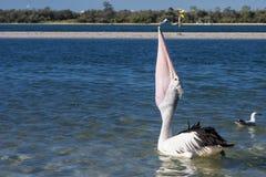 Pelikan-Fütterung Lizenzfreie Stockbilder