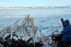 Pelikan-Fütterungsshow am Eingang Stockbild