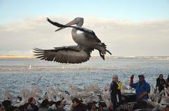 Pelikan-Fütterungsshow am Eingang Lizenzfreies Stockfoto