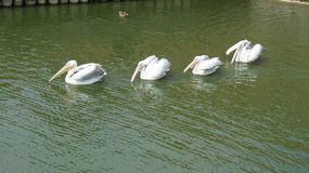 Pelikan fließt einer nach dem anderen Lizenzfreie Stockbilder