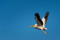Pelikan-Fliegen stockfotografie