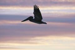 Pelikan fliegt über karibisches Meer Lizenzfreie Stockbilder