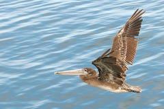Pelikan fliegt niedrig über Wasser Lizenzfreie Stockbilder