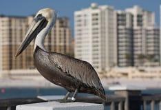 Pelikan in Florida. Lizenzfreie Stockbilder