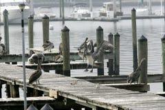 Pelikan in Florida Lizenzfreie Stockfotos