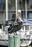 Pelikan in Florida Lizenzfreie Stockbilder
