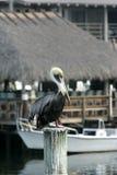 pelikan florydy Zdjęcia Stock