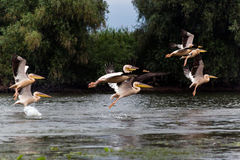Pelikan-Flug Lizenzfreies Stockfoto
