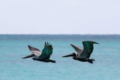Pelikan-Flugwesen über dem Meer Stockbild