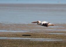 Pelikan-Flugwesen Lizenzfreies Stockfoto