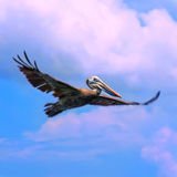 Pelikan-Flugwesen stockfotografie