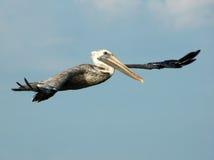 Pelikan-Flugwesen lizenzfreie stockfotos
