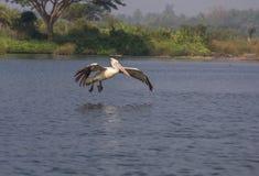 Pelikan fying blisko do wody Zdjęcia Royalty Free