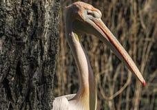 Pelikan głowa Zdjęcia Royalty Free