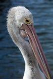 Pelikan głowa Fotografia Royalty Free