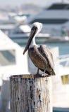 Pelikan gehockt auf einem Dock Stockfotografie