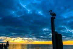 Pelikan an Glenelg-Strand Stockfotografie