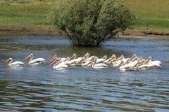 Pelikan-Gruppe Lizenzfreies Stockbild
