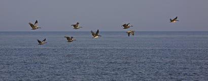 Pelikan i bildande på den norr strandSeabrook ön Royaltyfri Fotografi