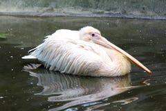 Pelikan i dammvatten Arkivbilder