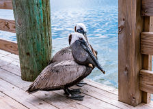 Pelikan i en marina på den Hatteras ön Royaltyfri Foto