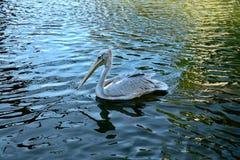 Pelikan i en sjö Fotografering för Bildbyråer